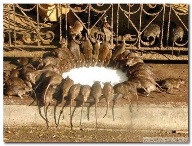 Крысы и кошки. Битва не на жизнь...