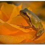 Роза и жаба